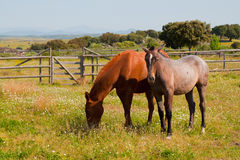 Horses in the farm field. Spanish purebred horses Royalty Free Stock Photos
