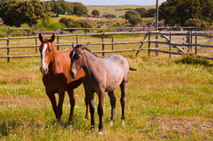 Horses in the farm field. Spanish purebred horses Stock Image