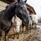 Horses at the farm Stock Image