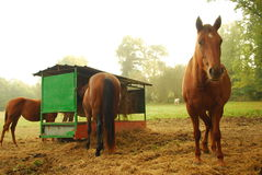 Horses on farm Stock Images