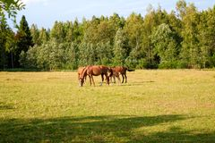 Horses on the farm Royalty Free Stock Photos