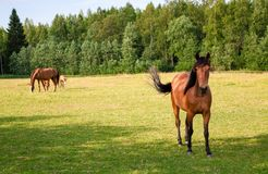 Horses on the farm Royalty Free Stock Photo