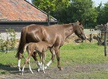 Horses on a farm Royalty Free Stock Photos