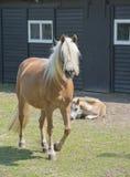 Horses on a farm Royalty Free Stock Image