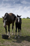 Horses on Farm in Iowa. Stock Photo