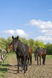 Horses on the farm resting Royalty Free Stock Photos