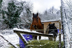 Horses on the farm, snowy weather Royalty Free Stock Photography