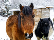 Horses on the farm, snowy weather Stock Image