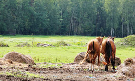 Horses on the farm. Royalty Free Stock Images