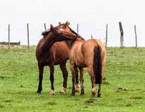 Horses in a Farm Royalty Free Stock Photography