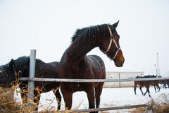 Horses on the farm in winter. Horses on the farm cloudy winter morning Royalty Free Stock Photography