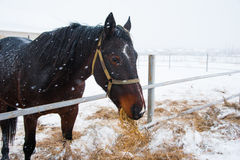 Horses on the farm in winter. Horses on the farm cloudy winter morning Royalty Free Stock Images
