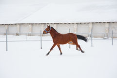 Horses on the farm in winter. Horses on the farm cloudy winter morning Stock Photography