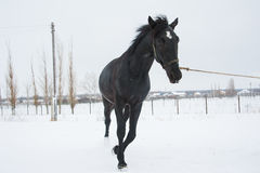 Horses on the farm in winter. Horses on the farm cloudy winter morning Stock Image