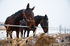 Horses on the farm in winter. Horses on the farm cloudy winter morning Royalty Free Stock Photo