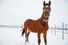 Horses on the farm in winter. Horses on the farm cloudy winter morning Stock Images
