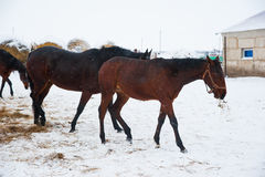 Horses on the farm in winter Royalty Free Stock Photography