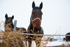 Horses on the farm in winter Royalty Free Stock Photo