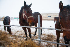 Horses on the farm in winter Royalty Free Stock Images