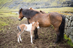 Horses on the Faroe Islands Royalty Free Stock Images