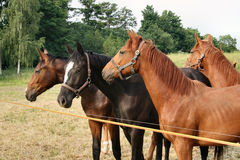 Horses on feasts. Germany royalty free stock photo