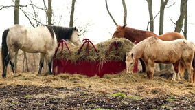 Horses Feed On Stray Hay Bales Farm Ranch Animals stock footage