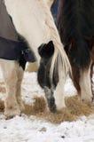 Horses feeding Royalty Free Stock Photos