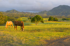 Horses feeding. Two appaloosa horses feeding on grass in a Kauai ranch Royalty Free Stock Images
