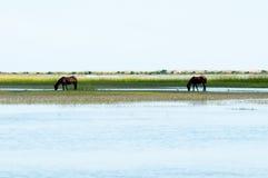 Horses feeding. Wild horses feeding near the water Royalty Free Stock Photos