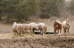 Horses feeding Stock Photo