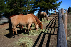 Horses Feeding. On hay on Idaho ranch Stock Photo