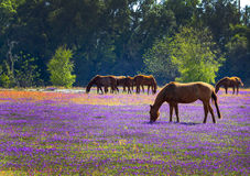 Horses Feeding in a Blooming Meadow Royalty Free Stock Images