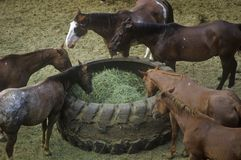 Horses feeding, Cotton Club Horse Ranch, Malibu, CA Royalty Free Stock Image