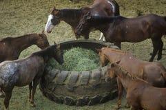 Horses feeding, Cotton Club Horse Ranch, Malibu, CA Royalty Free Stock Image