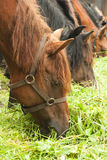 Horses feeding by grass Stock Photography