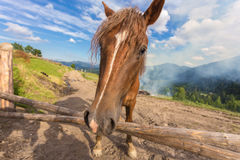 Horses, feeding on grass at high-land Carpathian pasture Royalty Free Stock Photo