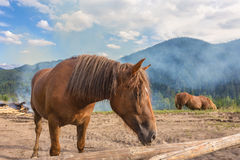 Horses, feeding on grass at high-land Carpathian pasture Stock Photography