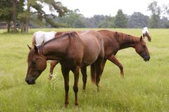 Horses feeding grass in a Texas green meadow Royalty Free Stock Image