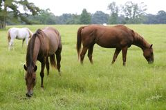 Horses feeding grass in a Texas green meadow Stock Images
