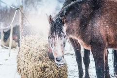 Horses feeding on hay on frosty winter day with snow Royalty Free Stock Photos