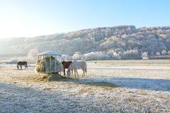 Horses feeding on hay on pasture Royalty Free Stock Photos