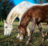 Horses feeding outdoors Stock Photos