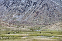 Horses feeding on pasture in high mountains Royalty Free Stock Image