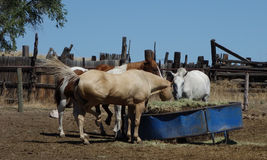 Horses feeding Royalty Free Stock Images