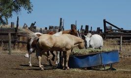 Horses feeding. On ranch, Antelope Island, Salt Lake City, Utah Royalty Free Stock Images