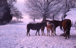 Horses feeding in the snow. Powder snow falling on four horses stock photography