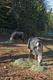 Horses feeding time Royalty Free Stock Photography