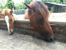Horses feeding at the trough Royalty Free Stock Image