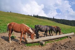 Horses at a feeding trough with salt Royalty Free Stock Image