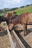 Horses at a feeding trough with salt Royalty Free Stock Images